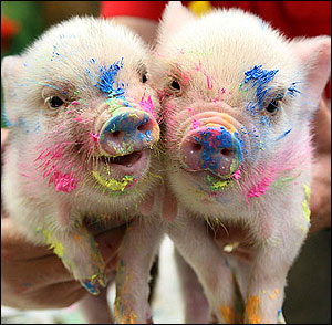 funny pig 4 Un porc funny