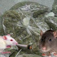 Imagini Politistii pretind ca soarecii au mancat o jumatate de tona de Marijuana  AFLA MAI MULTE