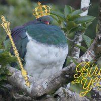 Imagini Un porumbel beat, care cade deseori din pomi, desemnat pasarea anului in Noua Zeelanda  VIDEO