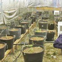 """Imagini Cum au fost prinsi """" cultivatorii de tomate """" care au vandut droguri in valoare de 10 milioane de euro in Bucuresti"""